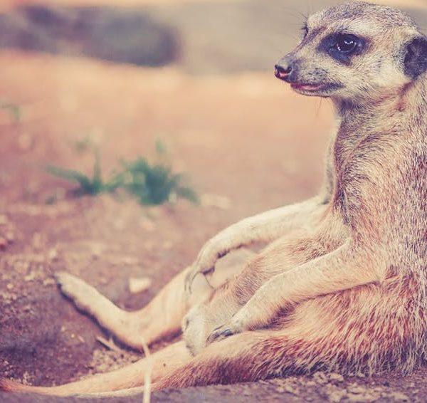 Meerkatze, Tier, Afrika, Wüste, Sommer, Hitze, heiß, Schwitzen, Berlin, 030, Tipps
