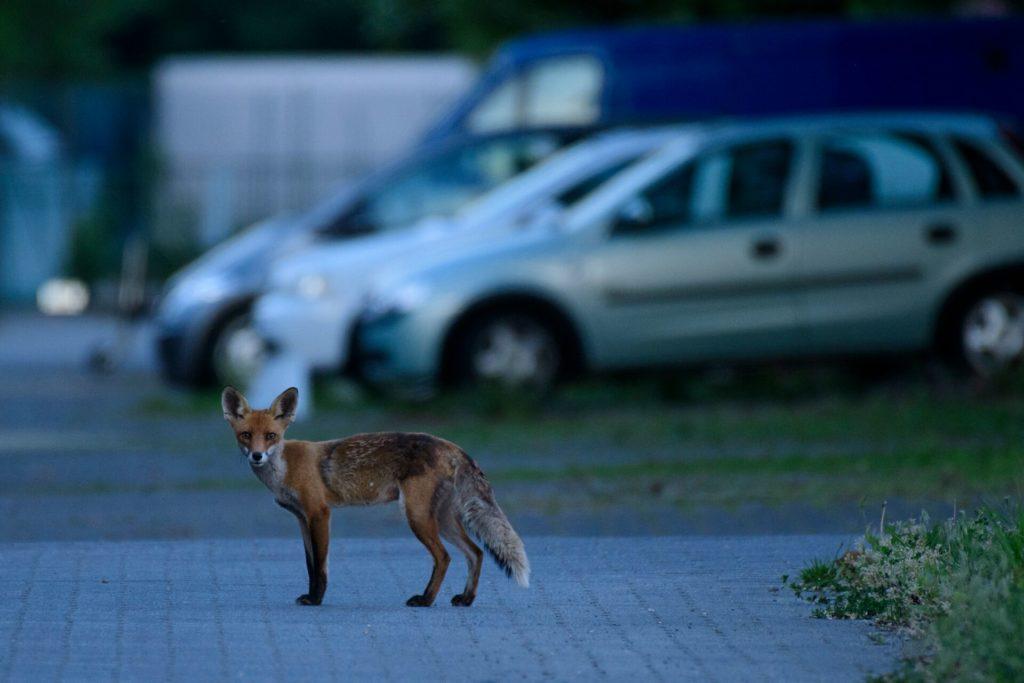 Fuchs, Citizen Science, Berlin, Natur, Wildtiere