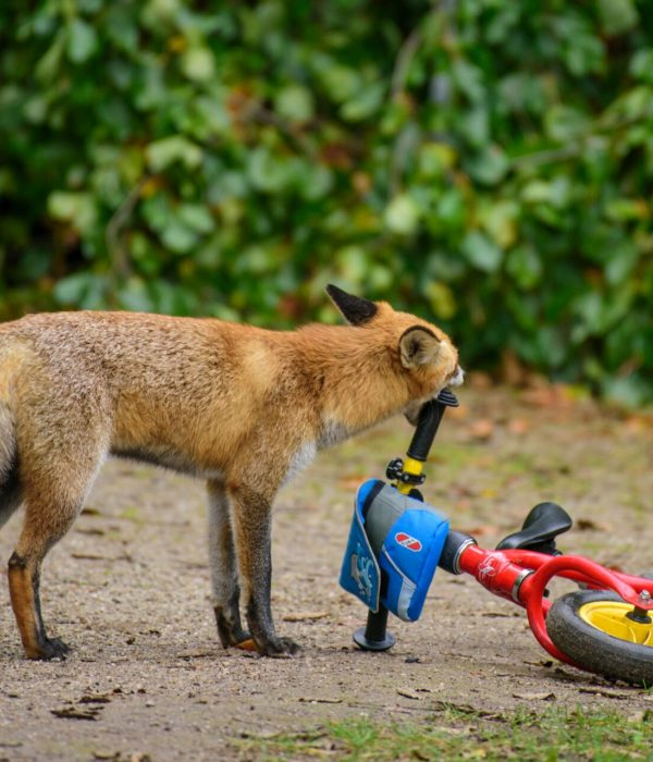 Fuchs, Citizen Science, Berlin, Natur, Wildtiere