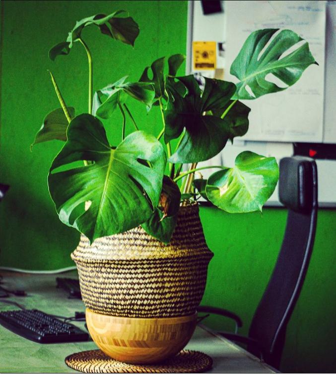 Büro, Pflanze